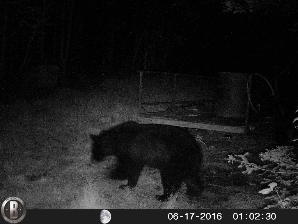 Black Bear Trail Cam June 2016